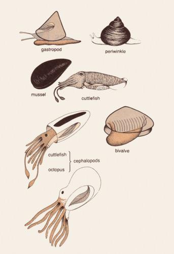 types of molluscs